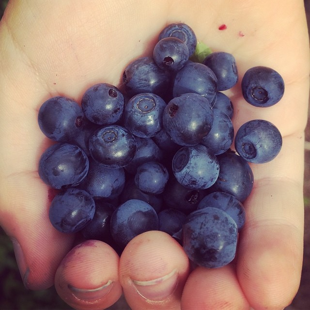 Now is best time to pick delicious #blueberries in #finland! Welcome to #naturetrip with #lomitravels !  #lominaturetravels  #visitfinland #visithelsinki  #myhelsinki #helsinki #finlandnature #finnishnature #finlandnaturally  #bestoffinland #beautyofsuomi #luontoonfi #explorefinland #helsinkilove #postcardsfromhelsinki #helsinkioffical #helsinkisightseeing #finnishsummer