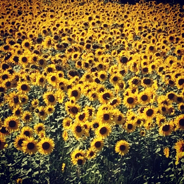 #sunflower #sunflowerfield #autumnishere #lomitravels #lominaturetravels  #visitfinland #visithelsinki  #myhelsinki #explorefinland #finland #helsinki #finlandnature #finnishnature #auringonkukkapelto #auringonkukat #auringonkukka