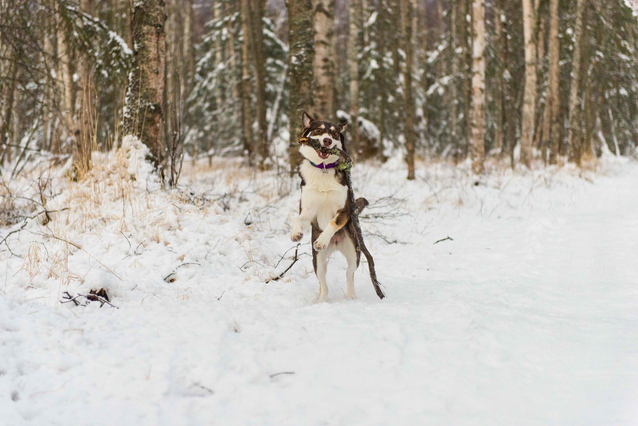 Anchorage Alaska Dog Photography Cedar Chaudhary-44.jpg