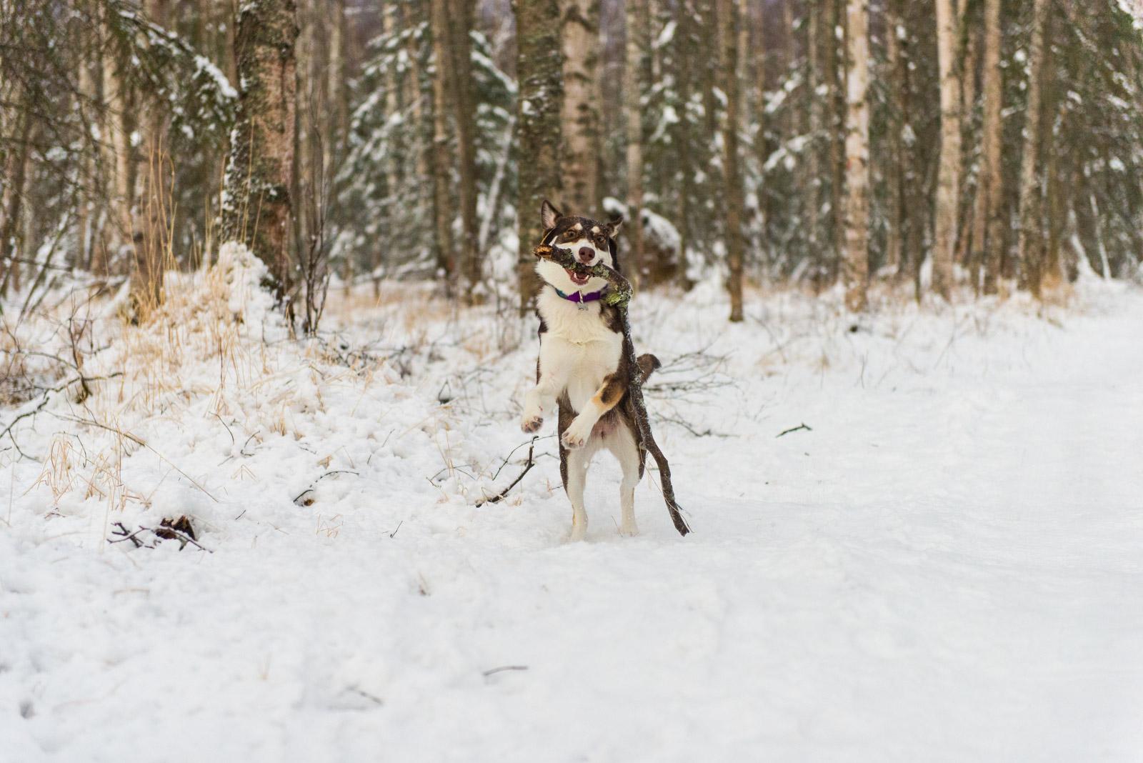 Meredith Berg Photography Anchorage Alaska Dog Pet Photographer Cedar Chaudhary-44.jpg