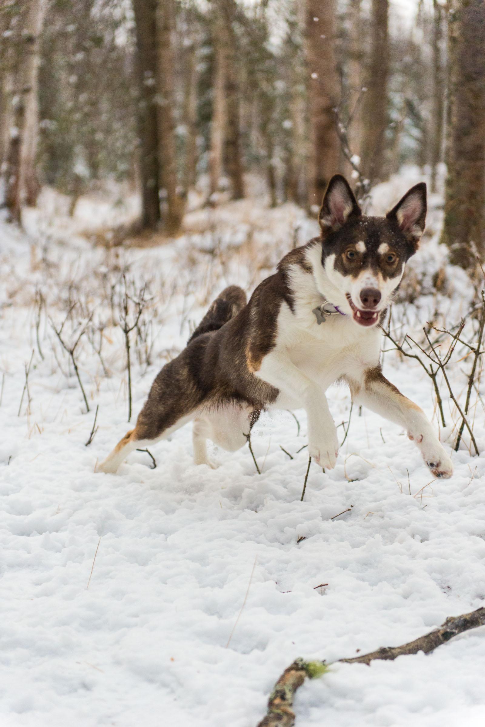 Meredith Berg Photography Anchorage Alaska Dog Pet Photographer Cedar Chaudhary-45.jpg