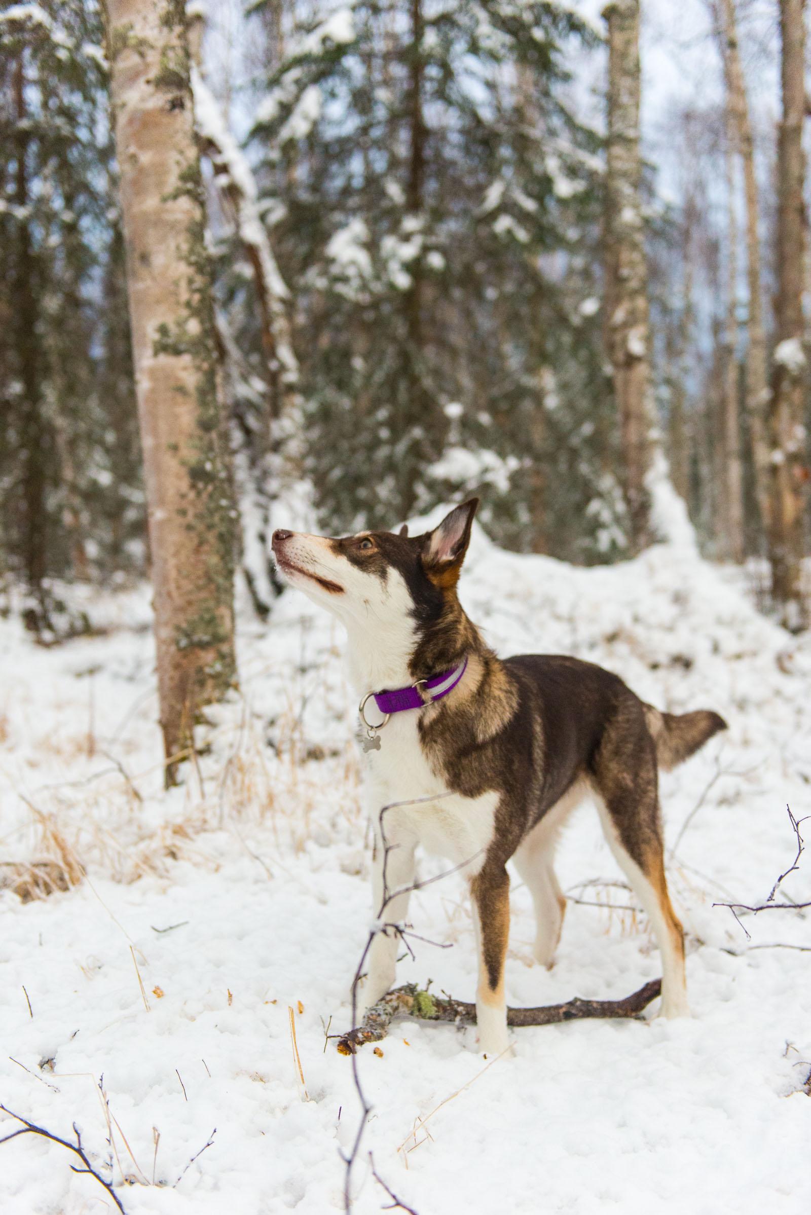 Meredith Berg Photography Anchorage Alaska Dog Pet Photographer Cedar Chaudhary-133.jpg