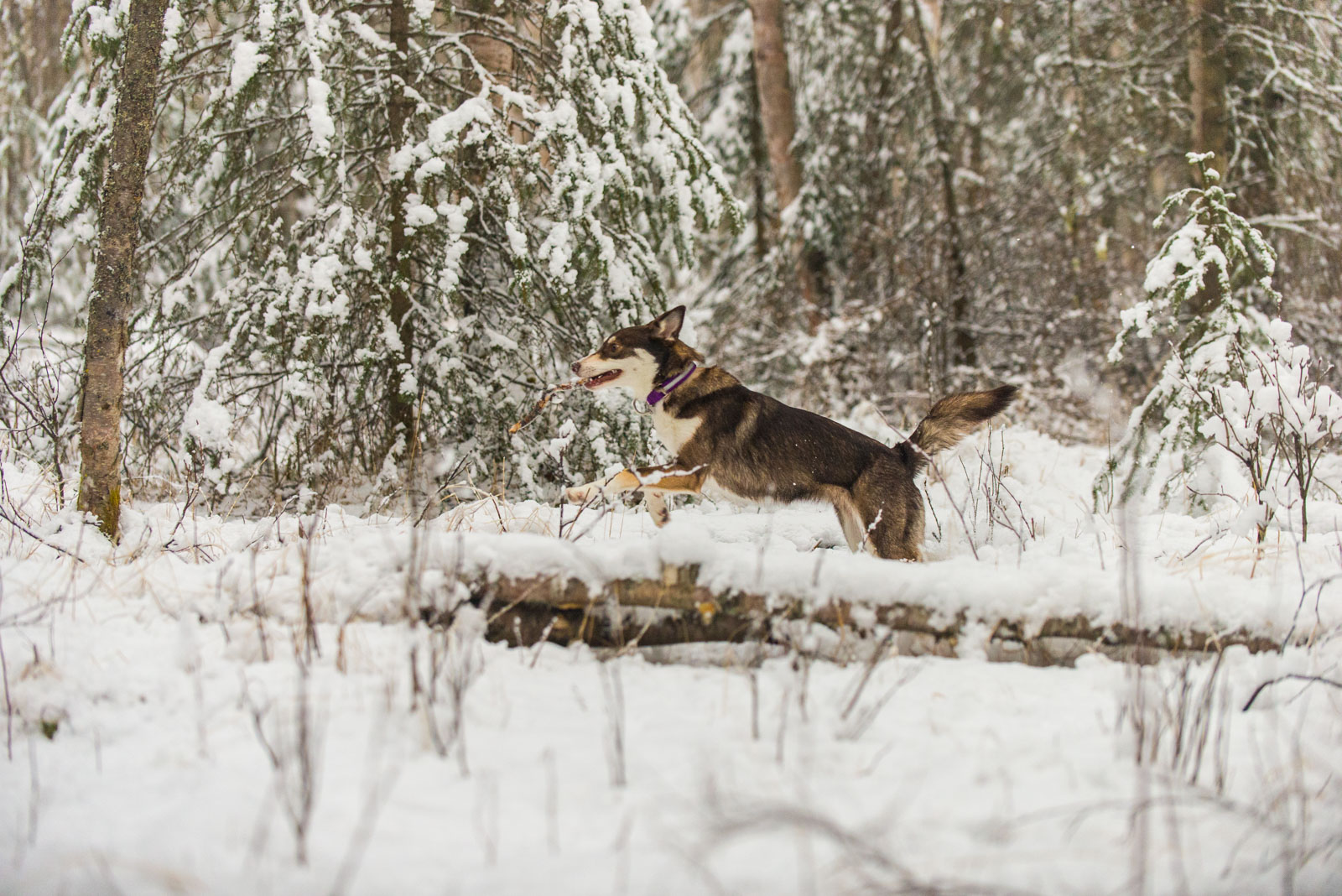 Meredith Berg Photography Anchorage Alaska Dog Pet Photographer Cedar Chaudhary-150.jpg