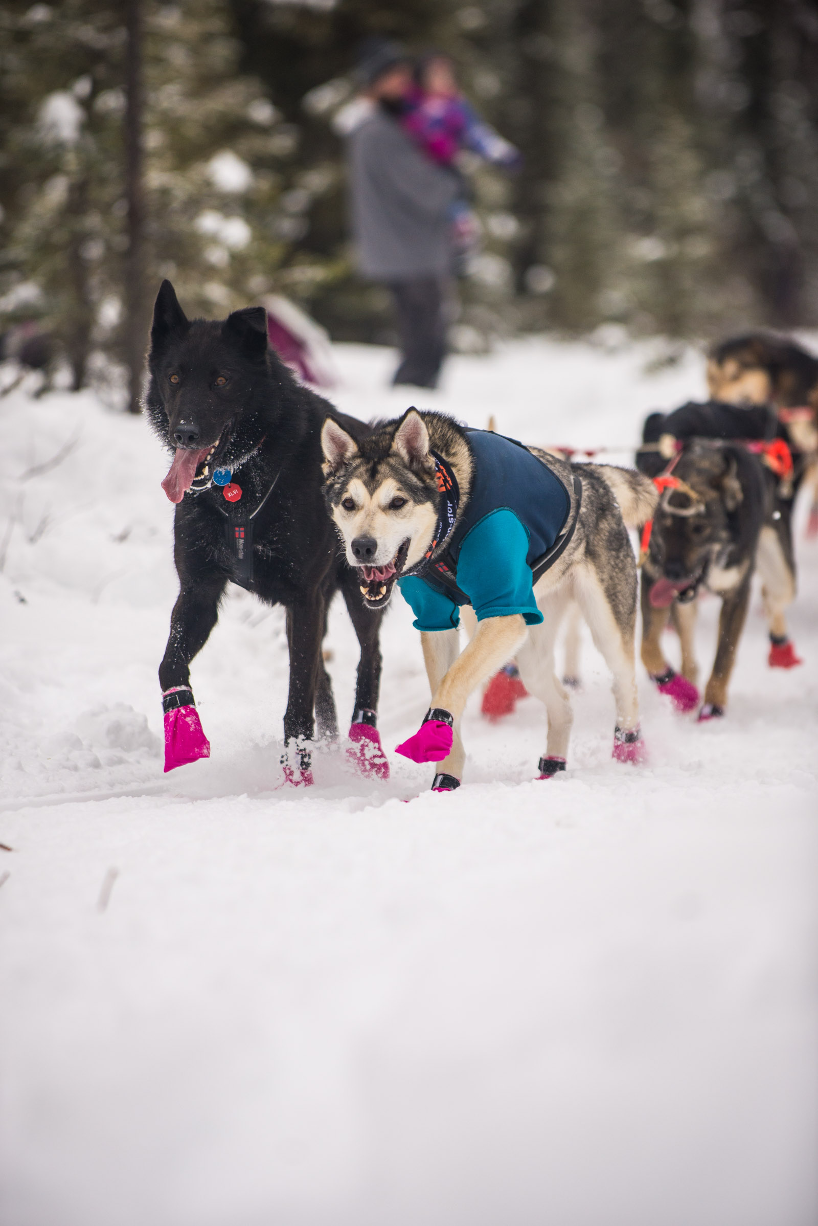 Meredith Berg Photography Anchorage Alaska Dog Pet Photographer Iditarod 2018-116.jpg