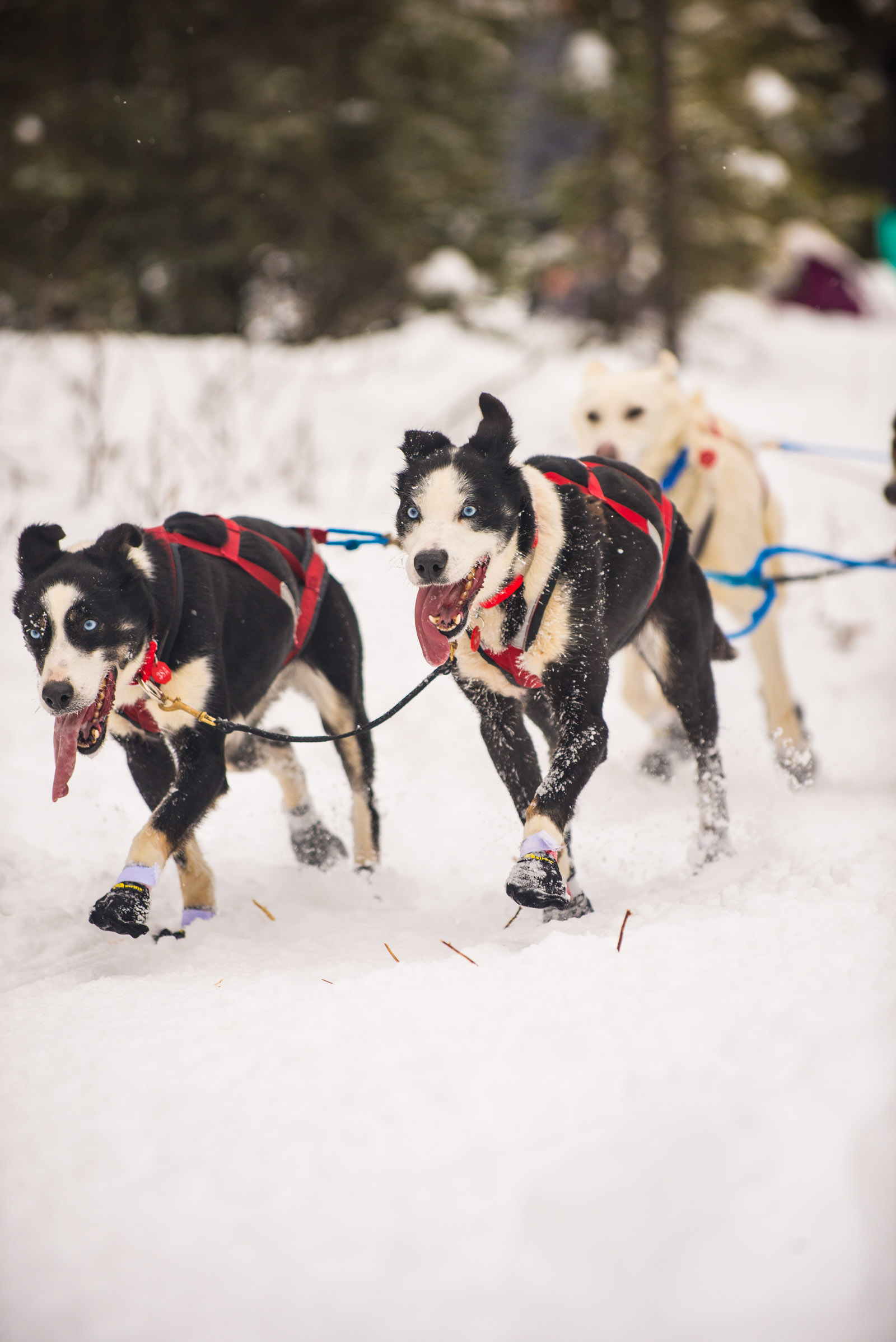 Meredith Berg Photography Anchorage Alaska Dog Pet Photographer Iditarod 2018-171.jpg