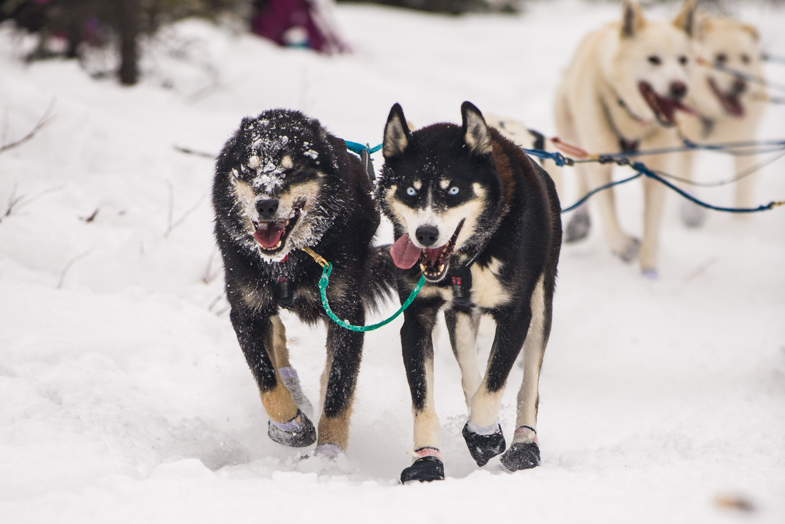 Meredith Berg Photography Anchorage Alaska Dog Pet Photographer Iditarod 2018-151.jpg