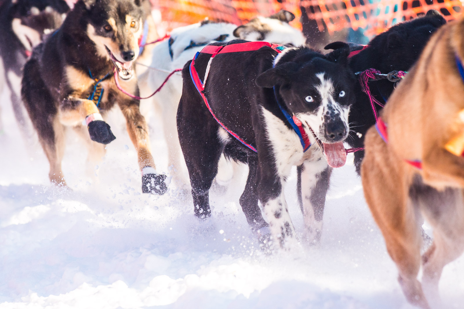 Meredith Berg Photography Anchorage Alaska Dog Pet Photographer Iditarod 2018-304.jpg