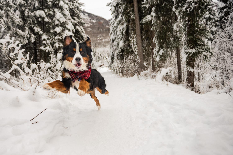 Meredith Berg Photography Anchorage Alaska Dog Pet Photographer Yukon Gethan-27.jpg