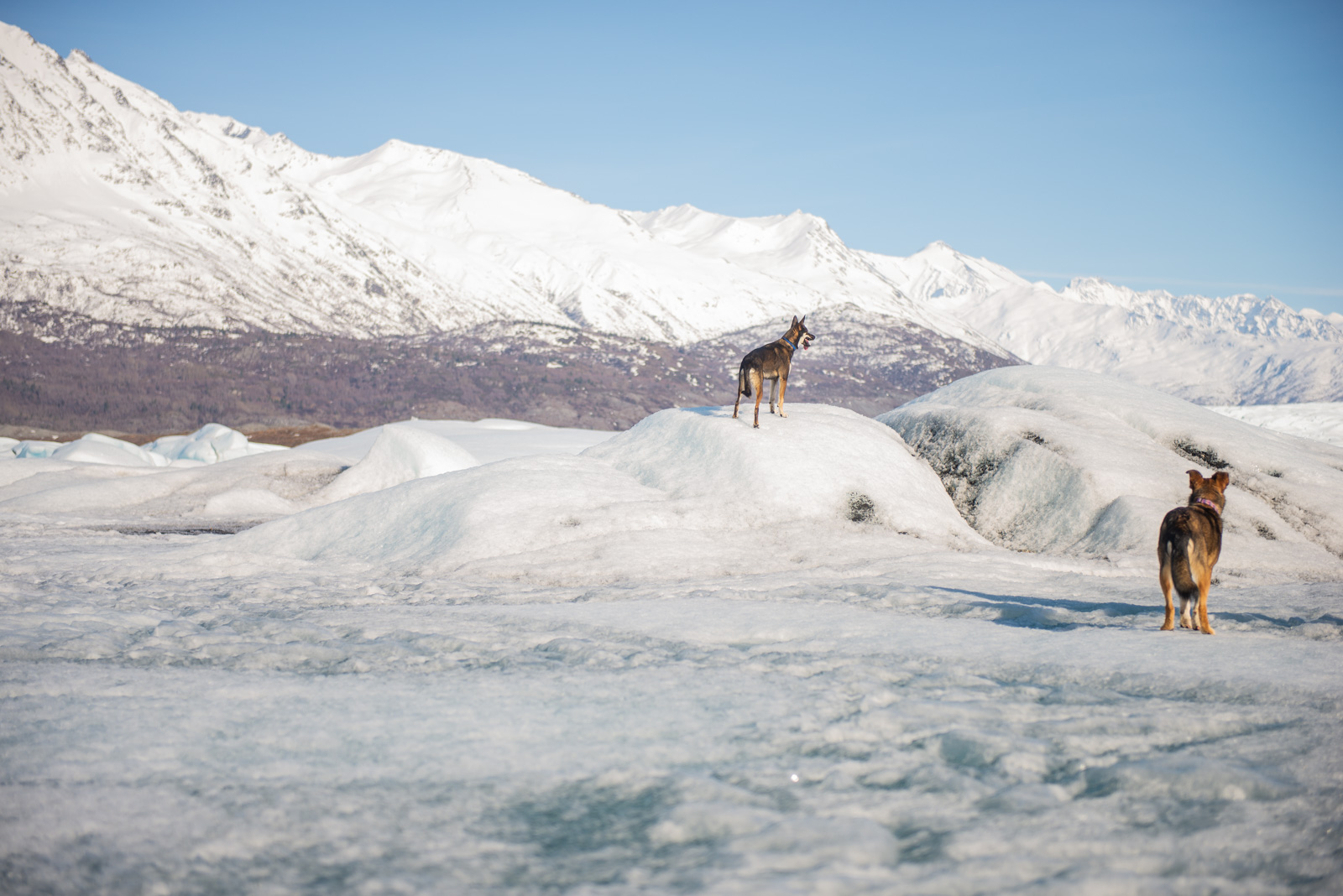 Meredith Berg Photography Anchorage Alaska Dog Pet Photographer Hazelnut Husky Mix Knik Glacier_DSC5445.jpg