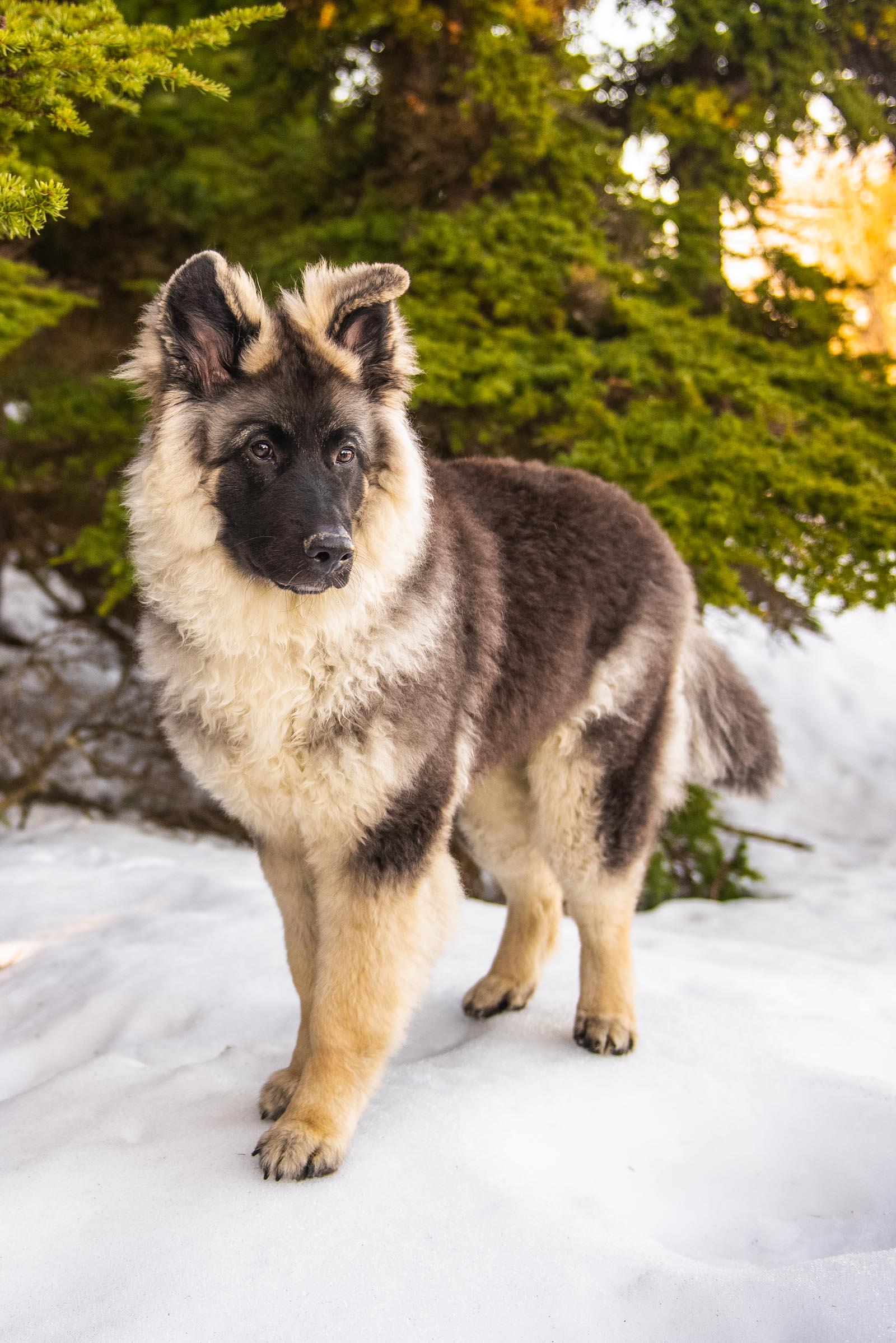Meredith Berg Photography Anchorage Alaska Dog Pet Photographer Bear German Shepherd Mix_DSC5696-Edit.jpg