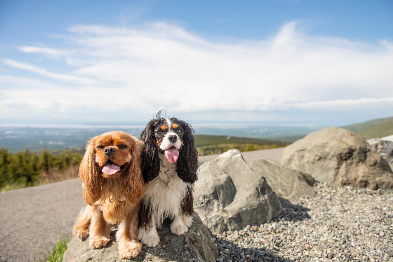 Meredith Berg Photography Anchorage Alaska Dog Pet Photographer Ali and Harmony Cavalier King Charles Spaniel_DSC6479.jpg
