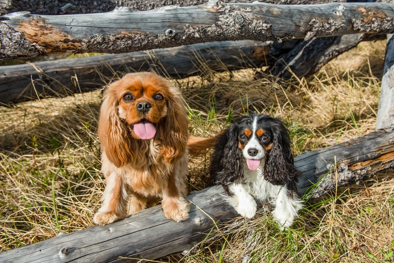 Meredith Berg Photography Anchorage Alaska Dog Pet Photographer Ali and Harmony Cavalier King Charles Spaniel_DSC6650-Edit.jpg