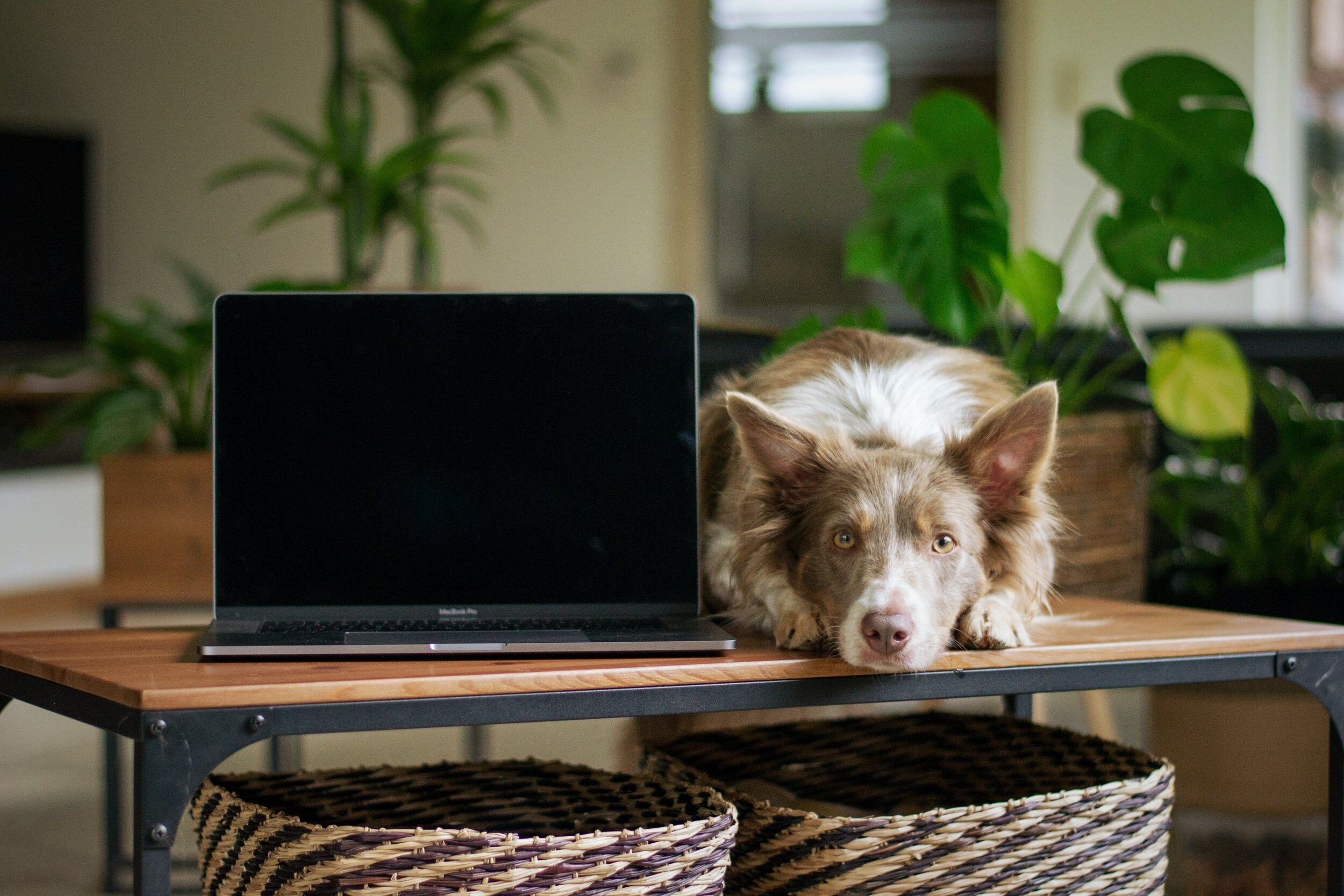 一只狗躺在书桌上,旁边是一台笔记本电脑。