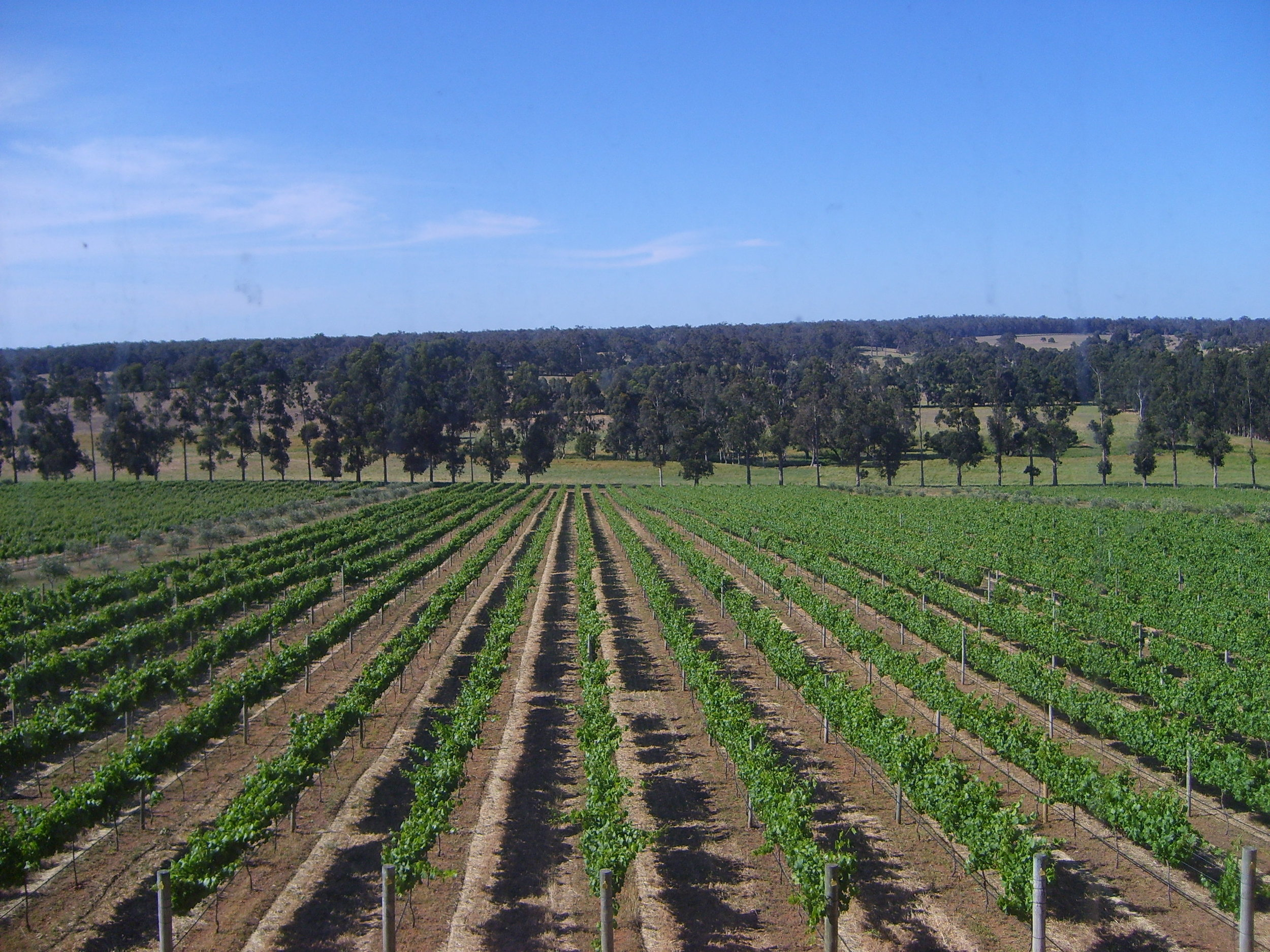 Vineyards in front of McHenry Hohnen's winery, Margaret River