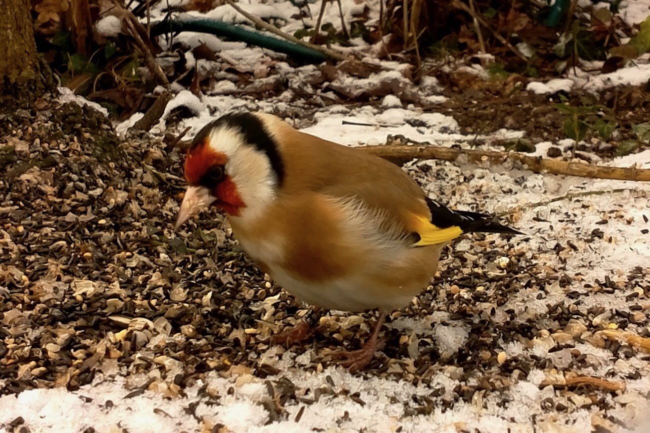 Picture of a Goldfinch by Elisabeth Bierhaus
