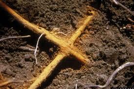 oak wilt grafted roots.jpg
