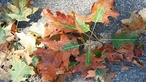 oak wilt leaves.jpg