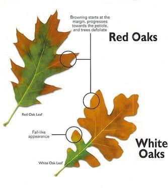 white and red oak.jpeg