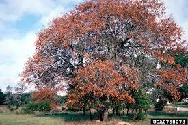 whole tree oak wilt.jpg