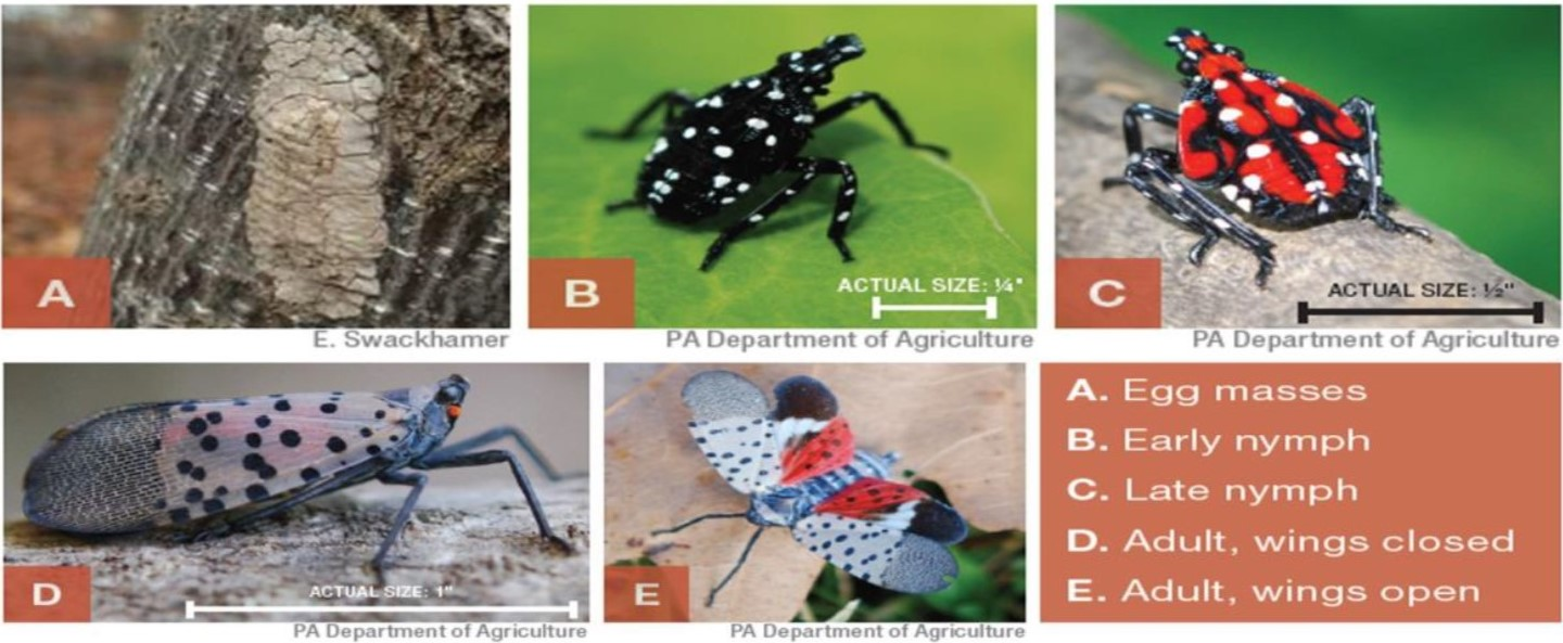 spotted-lanternfly stages.jpg