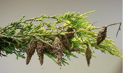 Bagworms on a Juniper branch