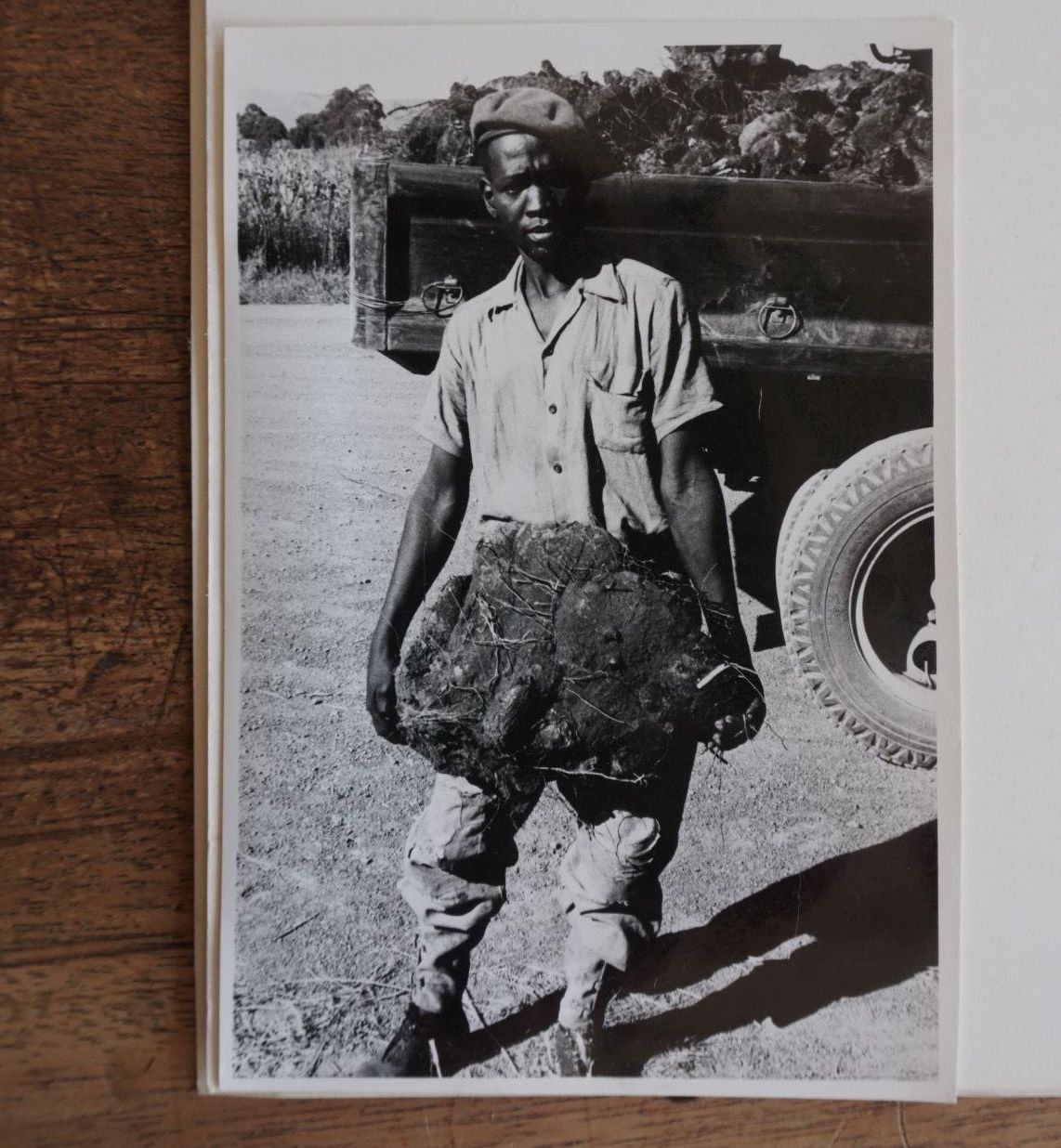 Image found in The South African National Biodiversity Institute herbarium - caption reads 'Commercial exploitation of Diascorea sylvatica, Eastern Transvaal, c.1958'