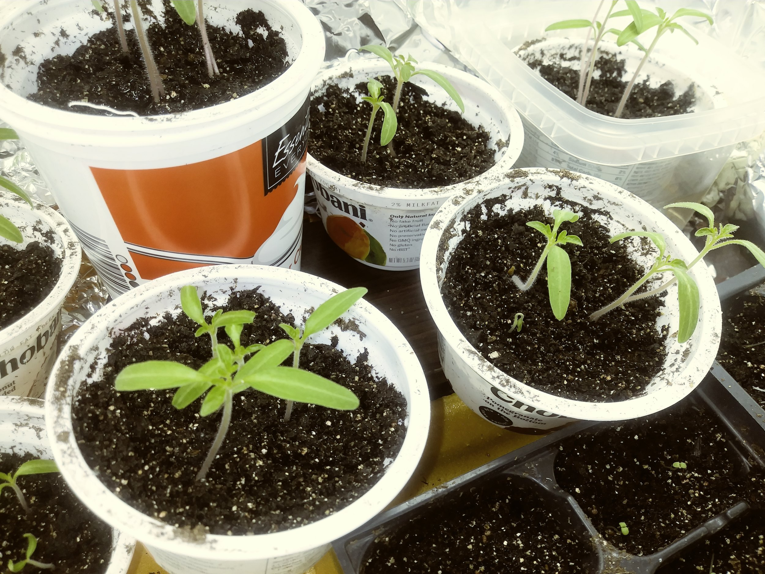 seedlings_in_yogurt_cups.jpg