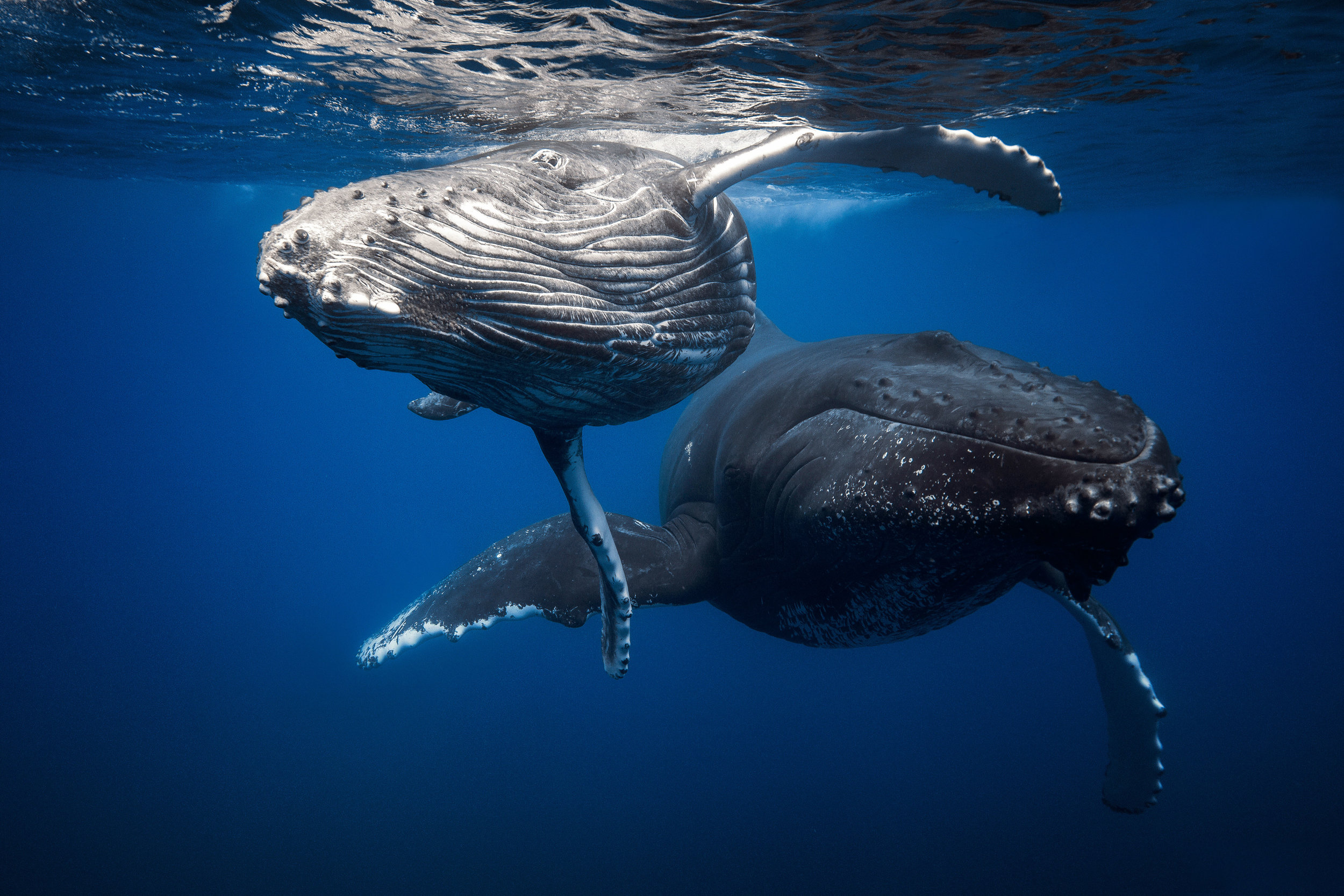 The HumpbackWhale - Whales (Megaptera novaeangliae)carry nutrients, such as nitrogen, from the depths where they feed, back to the surface via their feces. This transfer allows for more phytoplankton to grow at the surface, which is the basis of the entire food web. However, whales are at risk due to climate change, ship collisions and ocean acidification. Additionally, ship engines and sound explosions interfere with their vocalisations and disorient them.