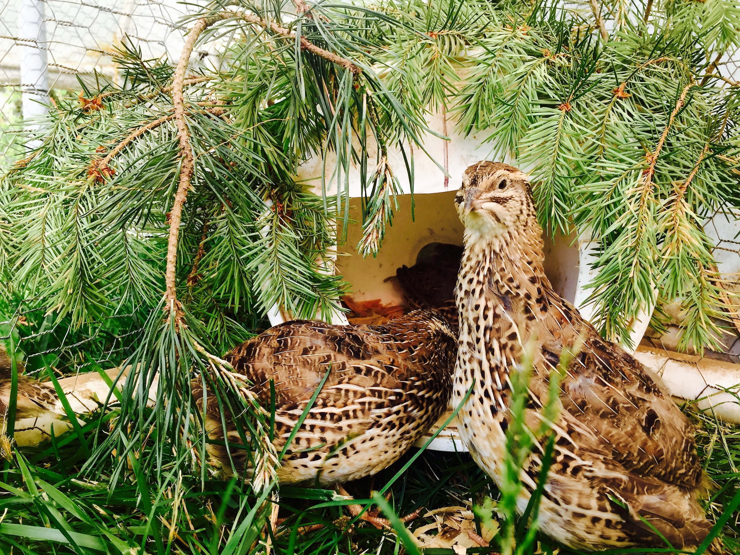Two Coturnix hens check out their nest box.