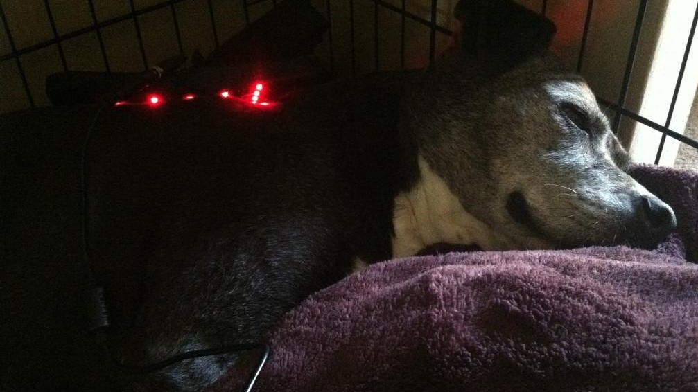 Kahlua always enjoyed her sessions with the Canine Light Therapy pad.