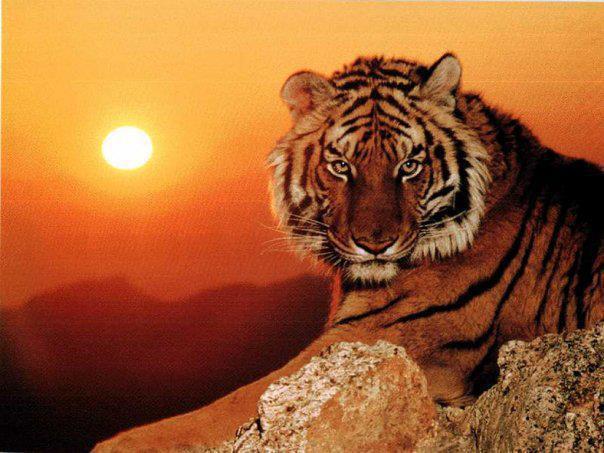 Tiger Me (animal reality)