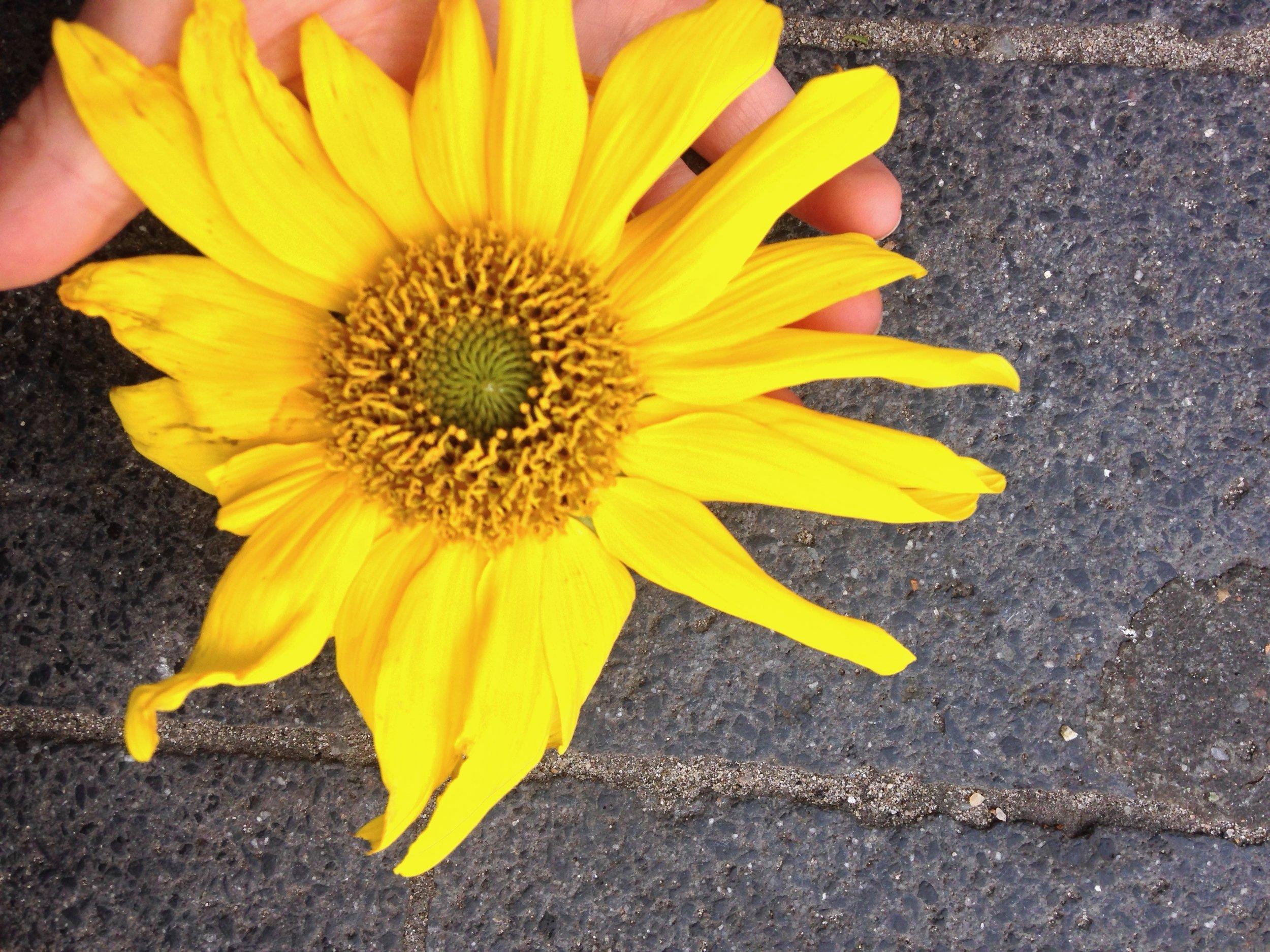 sunflower.jpeg