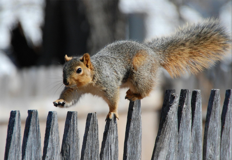 squirrel-fence-walk-tail-wallpaper.jpg