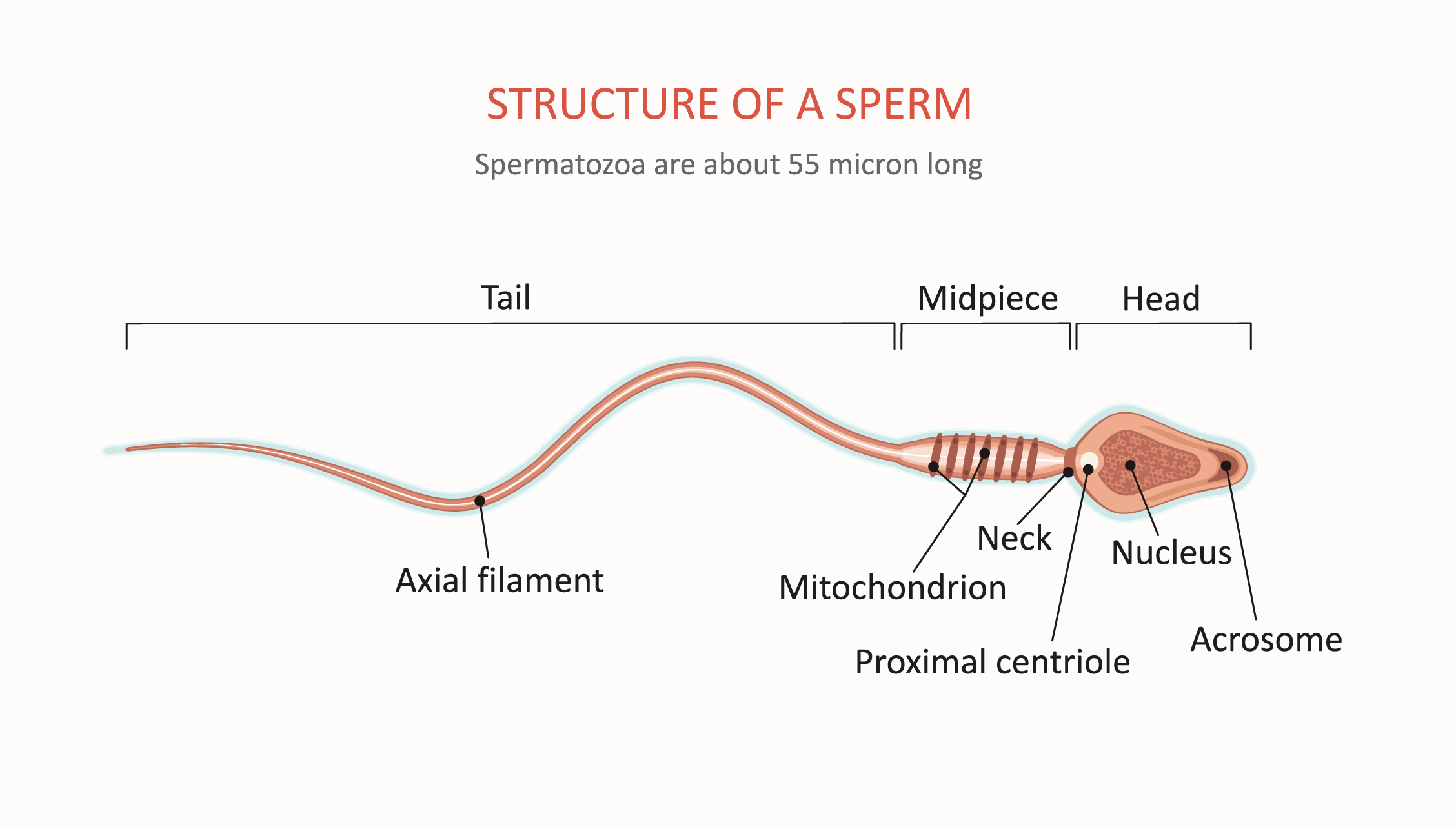 Simplistic rendering of sperm illustrates the critical location of the acrosome. Once the sperm contacts the zona pellucida, the acrosome releases enzymes hyaluronidase and acrosin that break down hyaluronic acid intracellular structures, allowing penetration of the head of the sperm to the cytoplasm and eventual bonding with the nucleus. PPCM triggers the premature loss of the acrosomal coating, thus rendering sperm infertile. (Source: online.psu.edu - Penn State)
