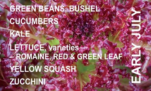 KQP_PC_EarlyJuly_RedLettuce.png