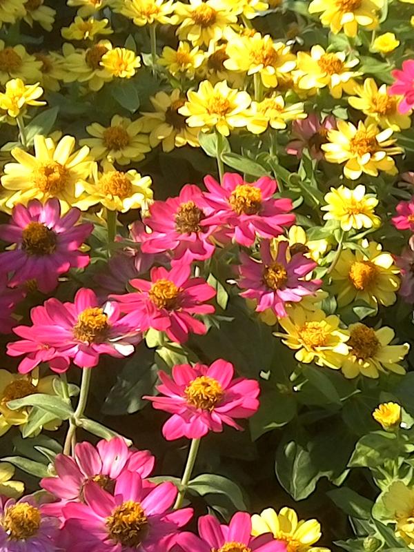Cone_Flowers_K_var_web.jpg