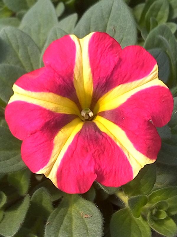 KF&GM_Petunia_Pink_yellow_Stripe_web.jpg