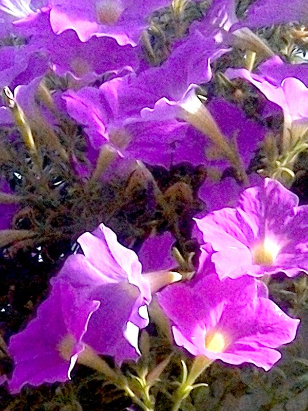 KF&GM_Petunia_lt_Purple_pink_web.jpg