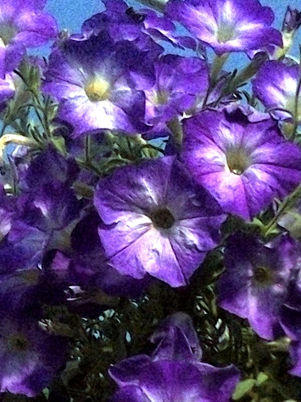 KF&GM_Petunia_Purple_White_center_web.jpg