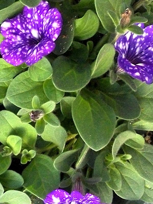 KF&GM_Petunia_Purple_White_dots_web.jpg