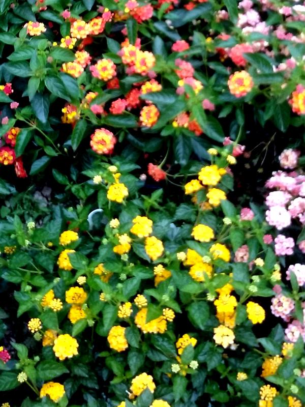 Lantana_Flower_K_web.jpg