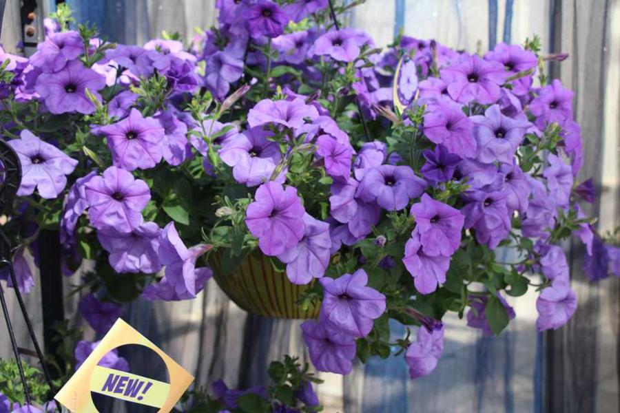 Petunia_Purple_Even-Scent_Takii_web.jpg