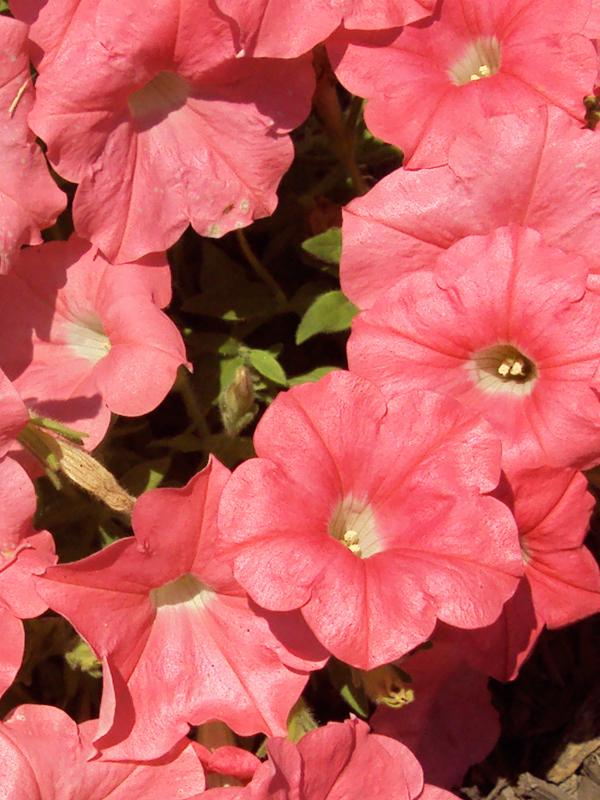 Petunias_Coral_web.jpg