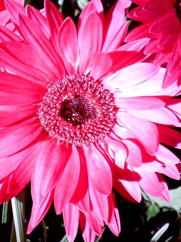 Pink_SanAntFlower_CloseUp_web.jpg