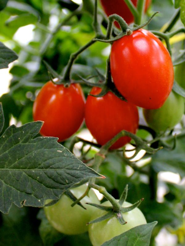 Tomatoes_Patio_Vine_Ripe_web.jpg