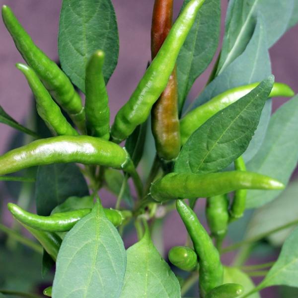 Pepper_plant_Thia_Hot_web.jpg