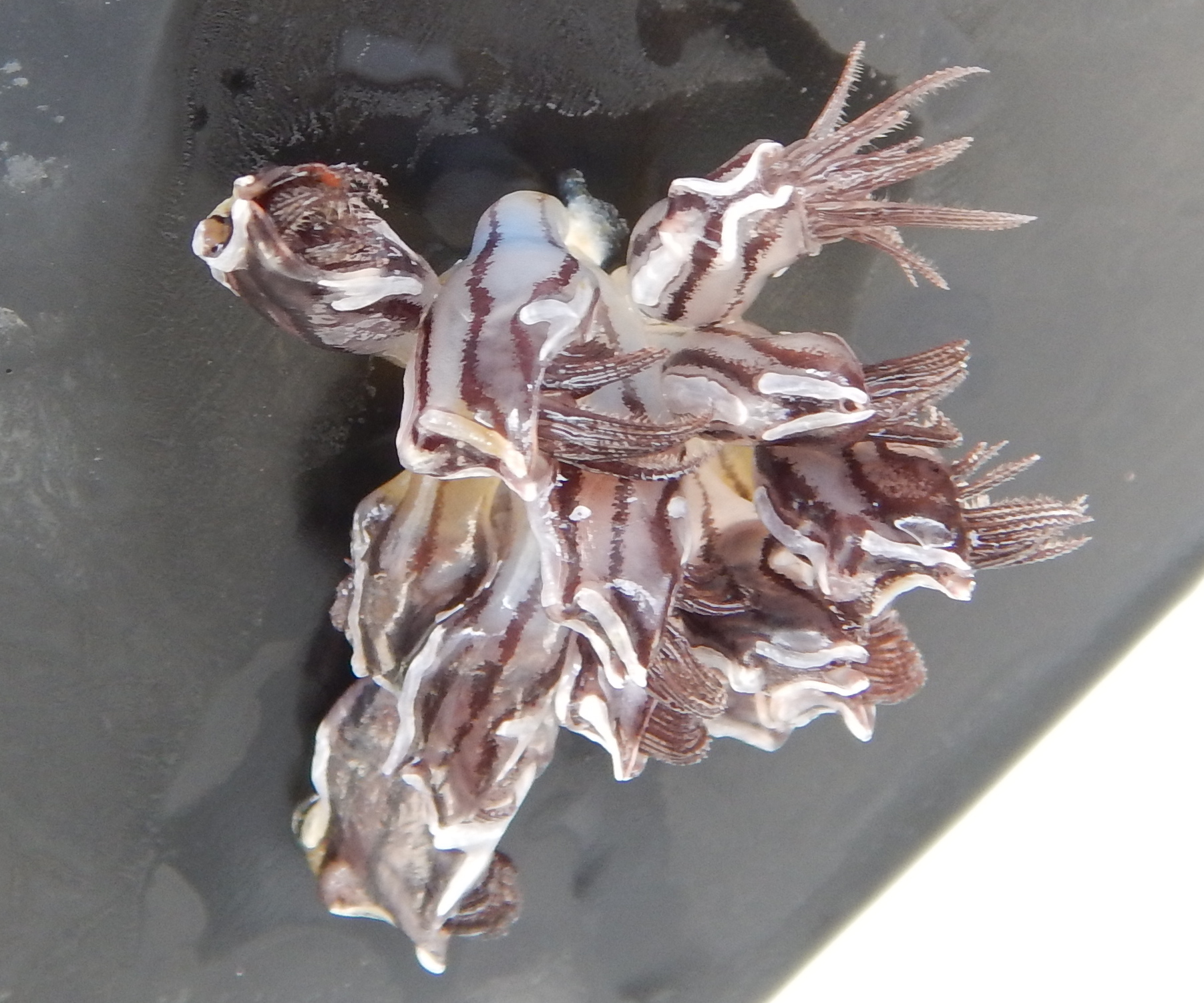 A striped gooseneck barnacle on the float (Conchederma Virgatum).