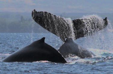 Whale Studies -