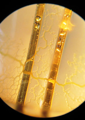 Slime Mold making contact with probes