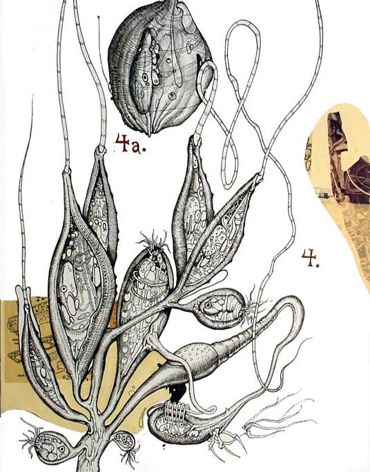 Hydra Cryptosporidium + Paramecioid Sac